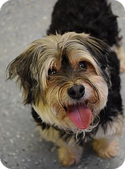 Maltese/Yorkie, Yorkshire Terrier Mix Dog for adoption in Lebanon, Missouri - Bailey