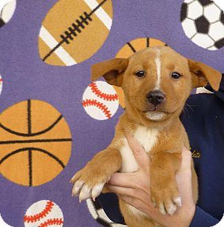 Australian Shepherd/Golden Retriever Mix Puppy for adoption in Oviedo, Florida - Newton