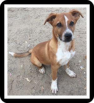 Australian Cattle Dog Mix Puppy for adoption in Winchester, California - AUSTIN
