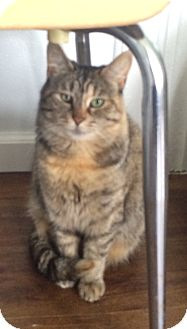 Domestic Shorthair Cat for adoption in Greensburg, Pennsylvania - Morticia