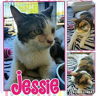 Calico Kitten for adoption in Scottsdale, Arizona - Jessie
