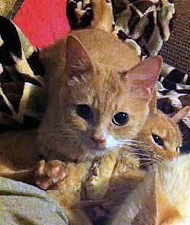 Domestic Shorthair Cat for adoption in El Cajon, California - Shikitty  (Blind)