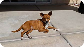 Australian Kelpie/Basenji Mix Dog for adoption in Apache Junction, Arizona - Rudy