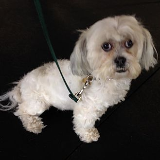 Shih Tzu/Maltese Mix Dog for adoption in Los Angeles, California - SHANTI