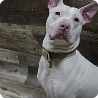 Adopt A Pet :: Kaid - Muskegon, MI
