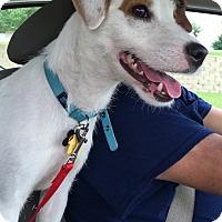 Adopt A Pet :: Buddy in Austin - Austin, TX