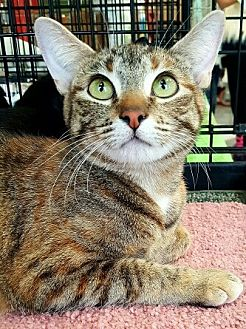 American Shorthair Cat for adoption in Lyons, Illinois - Gladys
