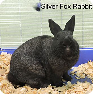 Silver Fox Mix for adoption in Slidell, Louisiana - Silver Fox