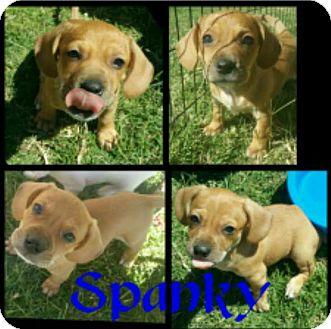 Beagle Mix Puppy for adoption in Mesa, Arizona - SPANKY