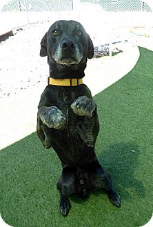 Labrador Retriever Dog for adoption in Rockville, Maryland - Trouble