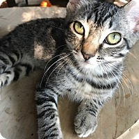 Domestic Shorthair Kitten for adoption in Burbank, California - Allie