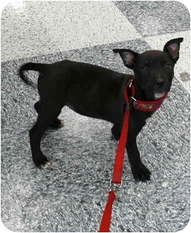 Patterdale Terrier (Fell Terrier)/Chihuahua Mix Puppy for adoption in Sacramento, California - Kimba cute