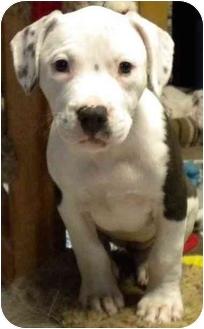 American Bulldog Mix Puppy for adoption in Hammonton, New Jersey - Dutchess