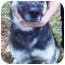 Photo 2 - German Shepherd Dog/Husky Mix Dog for adoption in Marion, North Carolina - Spirit
