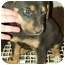 Photo 2 - Rottweiler/Great Pyrenees Mix Puppy for adoption in North Judson, Indiana - Chip