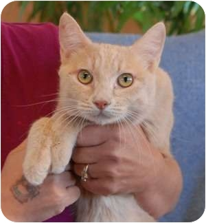 Domestic Shorthair Cat for adoption in Las Vegas, Nevada - Auggie