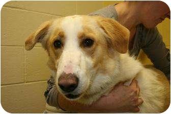 Collie Mix Dog for adoption in Clarksville, Tennessee - Cherub