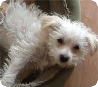 Maltese/Poodle (Miniature) Mix Puppy for adoption in El Cajon, California - IZZY