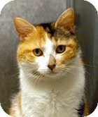 Calico Cat for adoption in Medina, Ohio - Polly