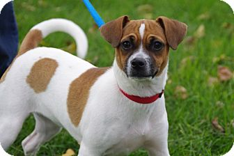 Jack Russell Terrier/Chihuahua Mix Puppy for adoption in Elyria, Ohio - Bree