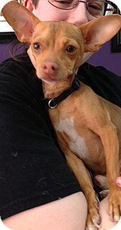 Chihuahua Mix Dog for adoption in Thousand Oaks, California - Cricket