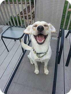 Labrador Retriever Mix Dog for adoption in Salem, Ohio - Hutch