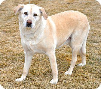 Labrador Retriever Mix Dog for adoption in Great Falls, Montana - Kadee