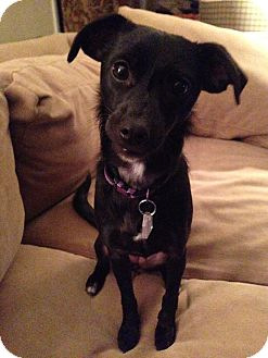 Chihuahua/Dachshund Mix Dog for adoption in Dallas, Texas - Sissy