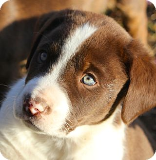 Labrador Retriever/Springer Spaniel Mix Puppy for adoption in Westport, Connecticut - *Cole - PENDING