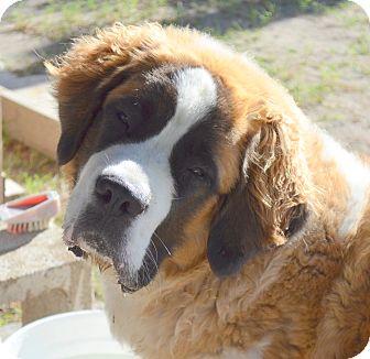 St. Bernard Puppy for adoption in Bellflower, California - Patricia