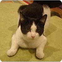 Adopt A Pet :: Sylvester - Muncie, IN