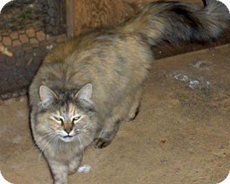 Domestic Mediumhair Cat for adoption in San Andreas, California - Misty Morning
