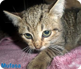 Domestic Shorthair Kitten for adoption in Georgetown, South Carolina - Mufasa