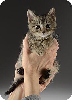 Domestic Shorthair Kitten for adoption in Cincinnati, Ohio - Pumpernickel