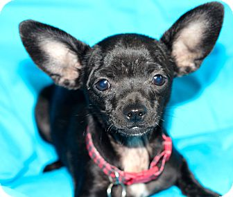 Chihuahua Mix Puppy for adoption in Kempner, Texas - Pixie