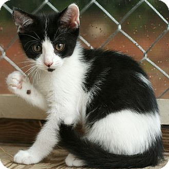 Domestic Mediumhair Kitten for adoption in McCormick, South Carolina - Mouse