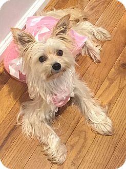 Maltese/Yorkie, Yorkshire Terrier Mix Dog for adoption in Mount Pleasant, South Carolina - Sassy
