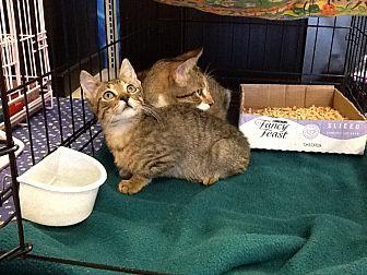 Domestic Shorthair Kitten for adoption in Houston, Texas - Joseph