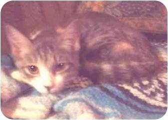 American Shorthair Kitten for adoption in New York, New York - Susie