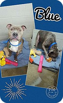 Pit Bull Terrier Mix Dog for adoption in Bryan, Ohio - Blue