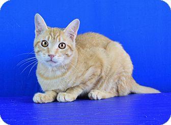 Domestic Shorthair Kitten for adoption in Carencro, Louisiana - Beans