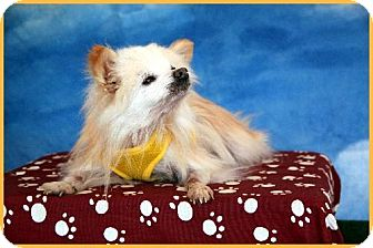 Pomeranian Dog for adoption in Dallas, Texas - Einstein