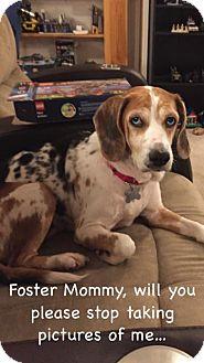 Beagle Mix Dog for adoption in Alpharetta, Georgia - Jubilant