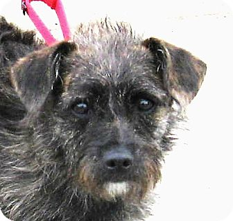 Terrier (Unknown Type, Small) Mix Dog for adoption in Hayden, Idaho - Izzy