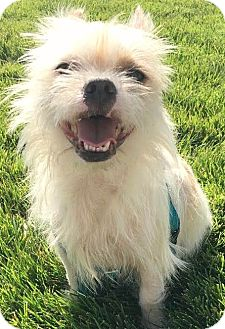 Brussels Griffon/Terrier (Unknown Type, Small) Mix Dog for adoption in Boulder, Colorado - Sarge-Adoption Pending