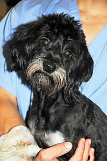 Tibetan Terrier/Poodle (Miniature) Mix Dog for adoption in Agoura Hills, California - Chance