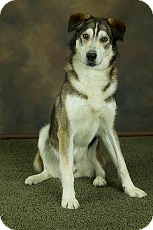 Husky Mix Dog for adoption in Anchorage, Alaska - Fidget