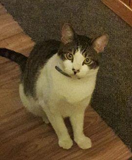 American Shorthair Cat for adoption in Paradise, California - Sunset