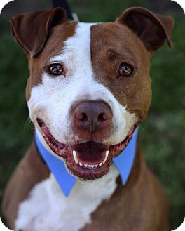 American Staffordshire Terrier/Labrador Retriever Mix Dog for adoption in San Diego, California - Joey Doves