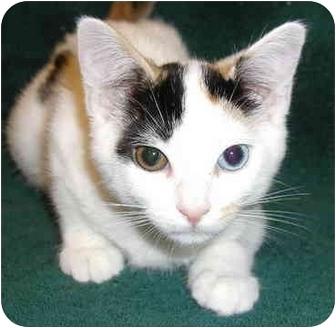 Calico Kitten for adoption in San Diego, California - Miss Piggy